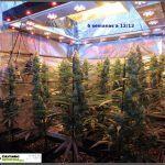 12- Actualización del cultivo de marihuana: 6 semanas a 12/12