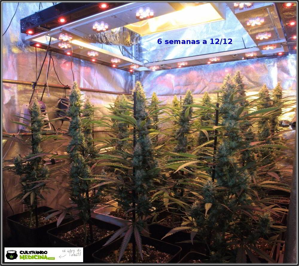 12- Actualización del cultivo de marihuana: 6 semanas a 12/12 1