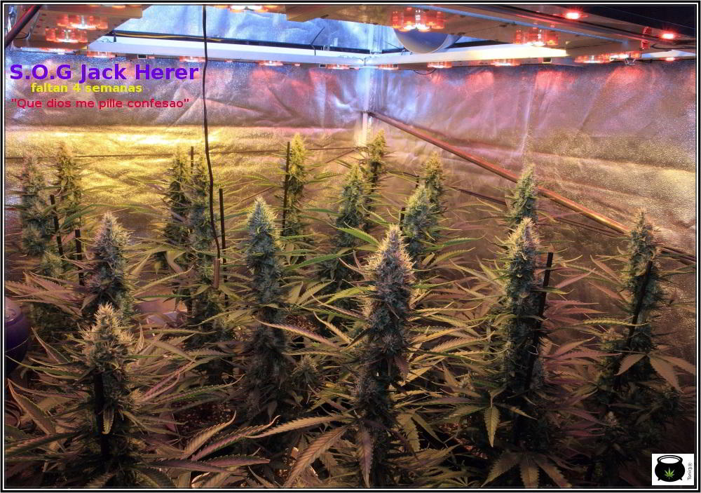 12- Actualización del cultivo de marihuana: 6 semanas a 12/12 2
