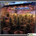 11- Actualización del cultivo de marihuana: 5 semanas a 12/12