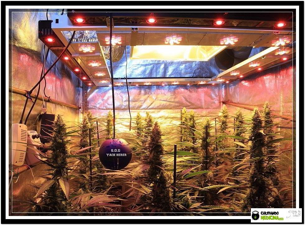 11- Actualización del cultivo de marihuana: 5 semanas a 12/12 3