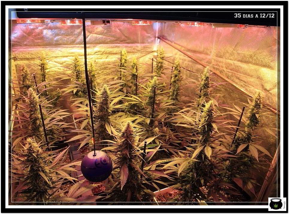 11- Actualización del cultivo de marihuana: 5 semanas a 12/12 5