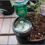 Lavender y Peyote Purple- cultivo de marihuana LED experimental