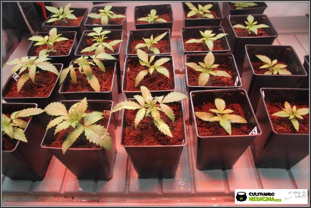 Plántulas de plantas de marihuana automáticas o autoflorecientes: Cómo cultivar variedades autoflorecientes de marihuana en exterior o interior