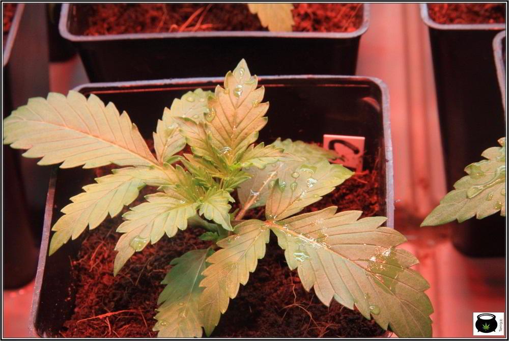 Planta de marihuana automática autofloreciente en crecimiento