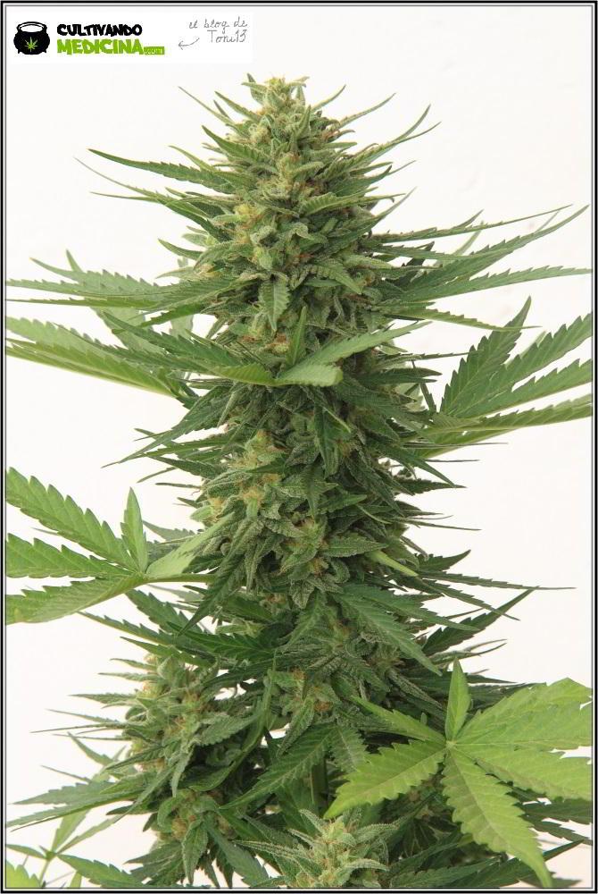 Punta de variedad de marihuana autofloreciente en floración