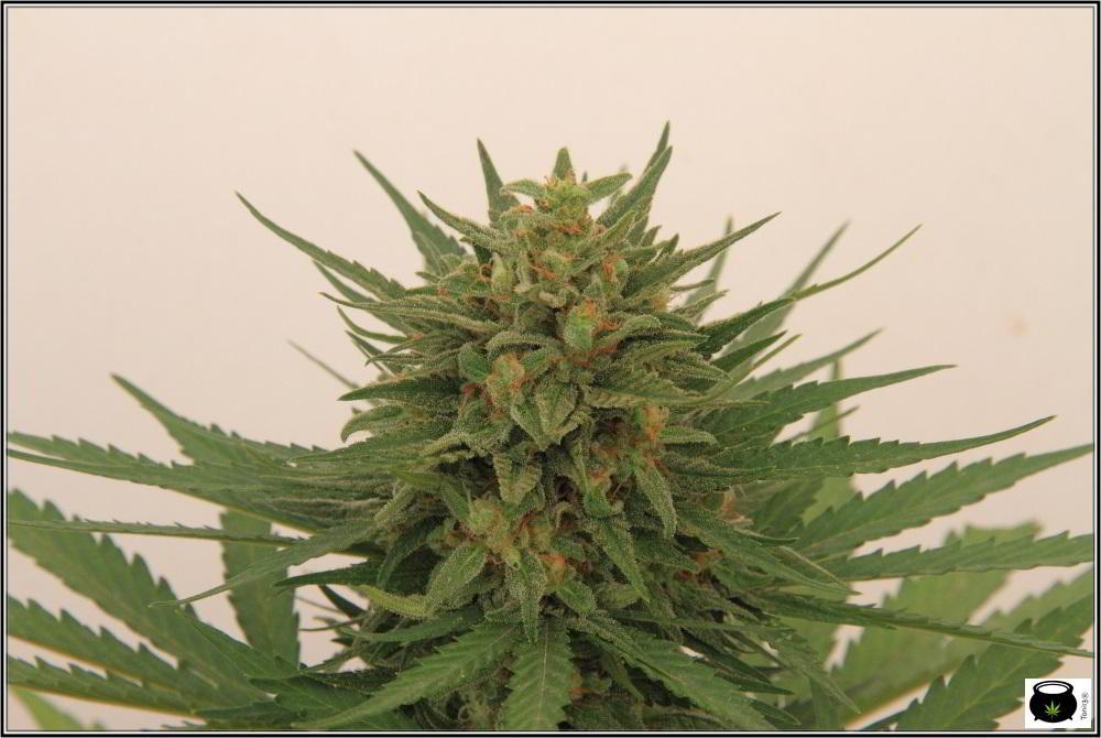 Cogollo de marihuana listo para cosechar: Como aplicar una tabla de nutrición en cultivos de exterior de marihuana