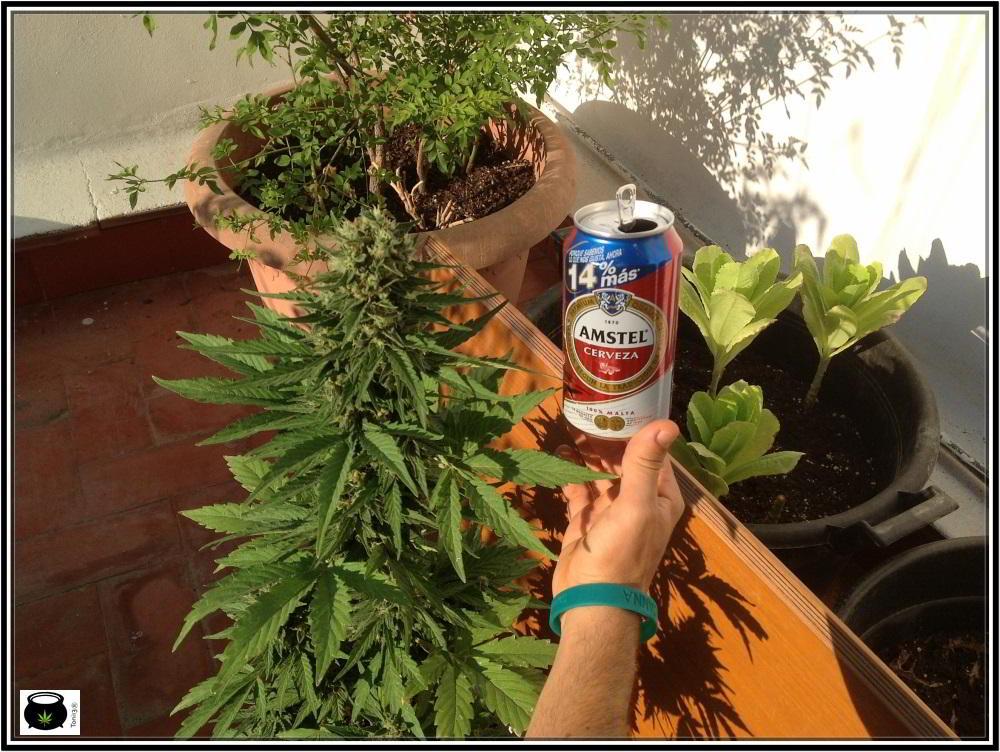 Punta de planta de marihuana autofloreciente o automática
