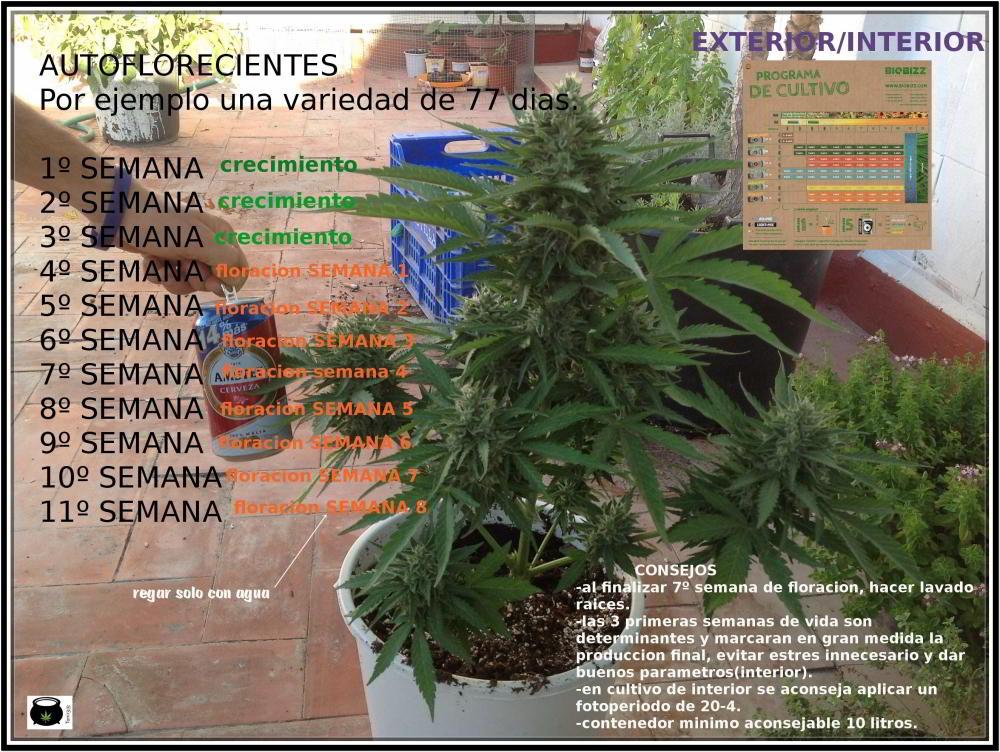 Tabla nutricional para variedades autoflorecientes en exterior