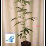 Plan nutricional de una planta de marihuana en crecimiento – No me mates, necesito poco