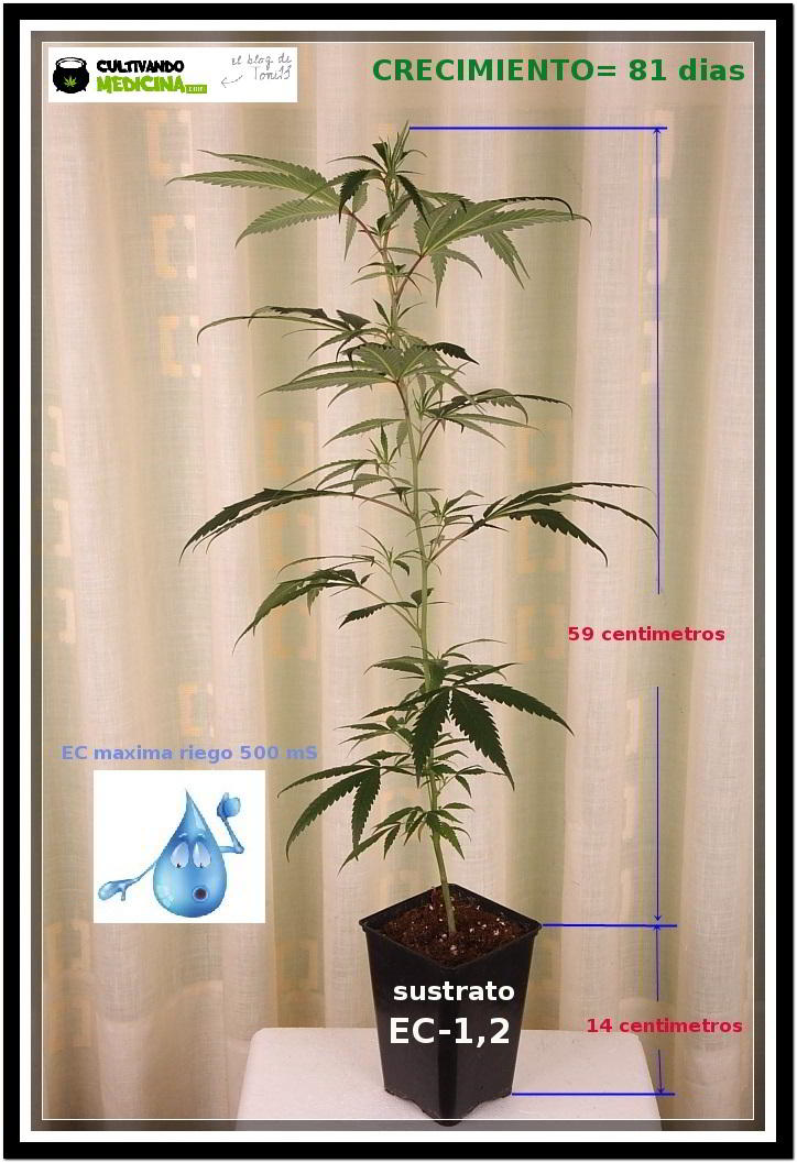 plan de cultivo de esqueje de marihuana en crecimiento