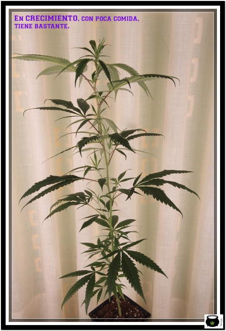 Planta de marihuana en crecimiento con plan de nutrición adecuado
