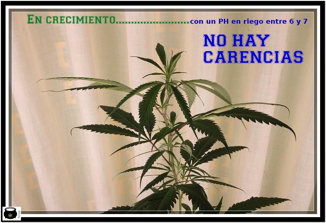 planta de marihuana en crecimiento sin carencias