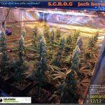 13- Actualización del cultivo de marihuana: 7 semanas a 12/12