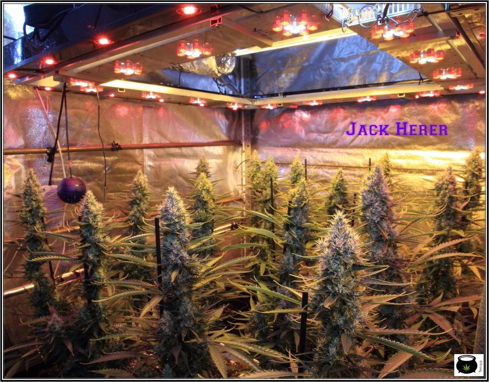 13- Actualización del cultivo de marihuana: 7 semanas a 12/12 cultivo sea of green interior 1