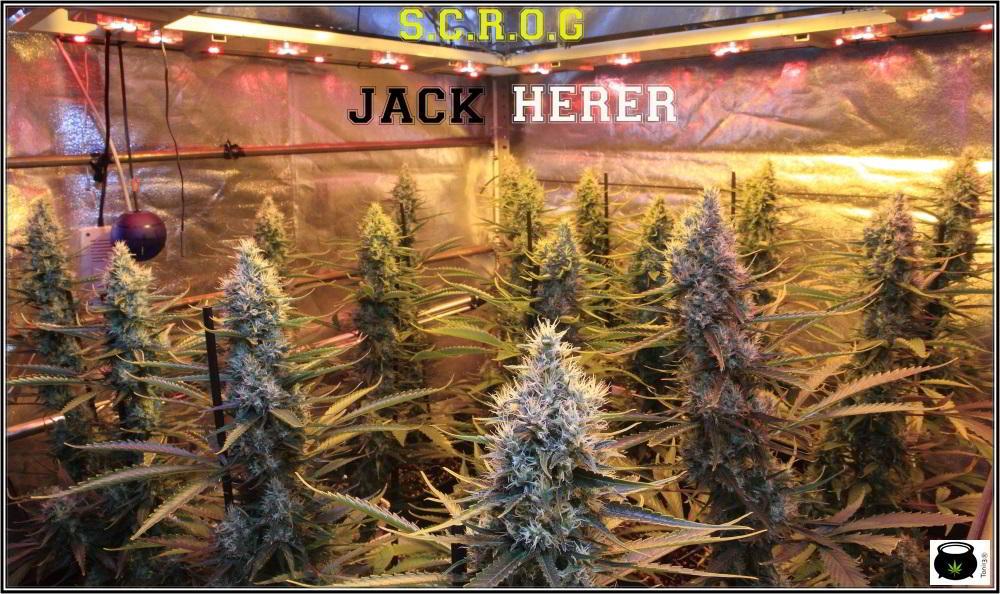 13- Actualización del cultivo de marihuana: 7 semanas a 12/12 cultivo sea of green interior 2