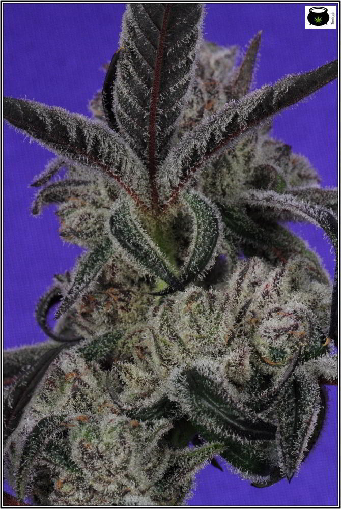 Lavender y Peyote Purple- cultivo LED experimental 5