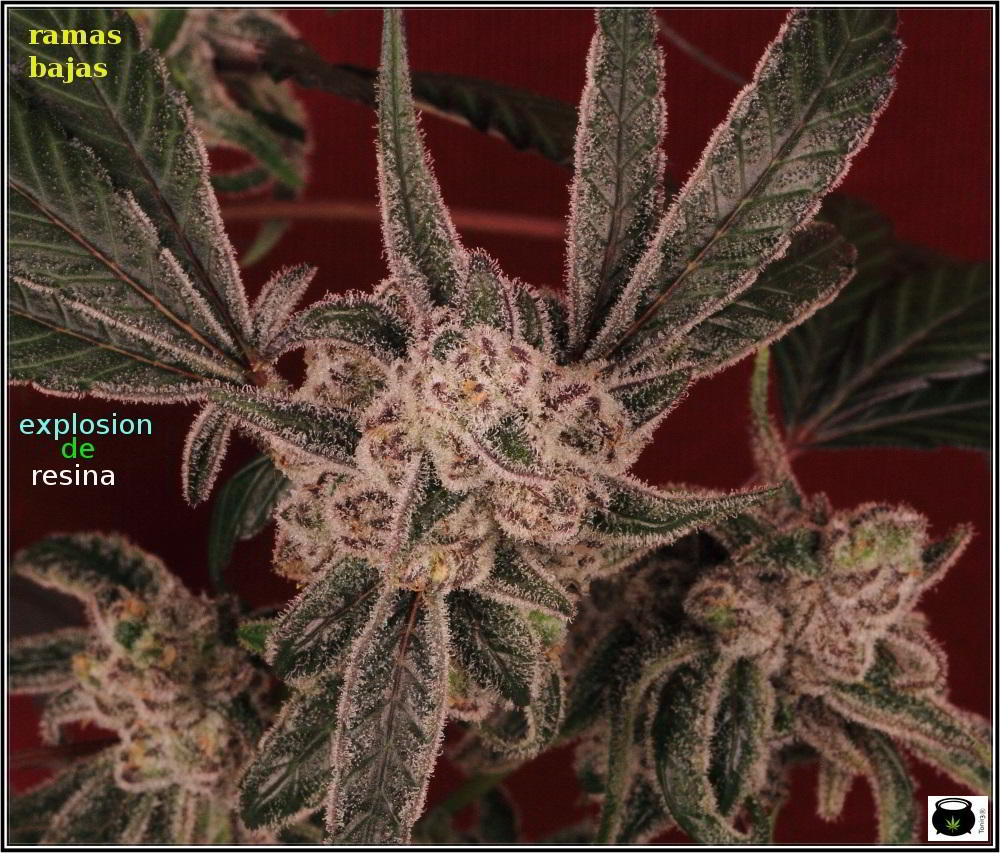 Lavender y Peyote Purple- cultivo LED experimental 3