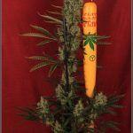 15- Variedad de marihuana Jack Herer con luz natural