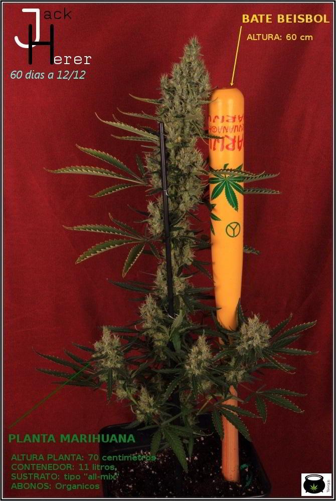 15- Variedad de marihuana Jack Herer con luz natural 1