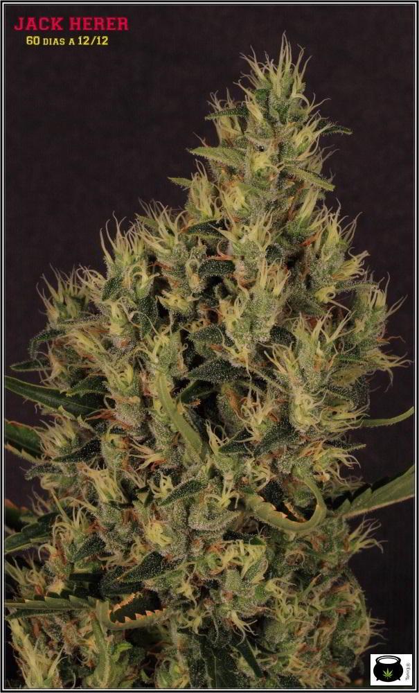 15- Variedad de marihuana Jack Herer con luz natural 2