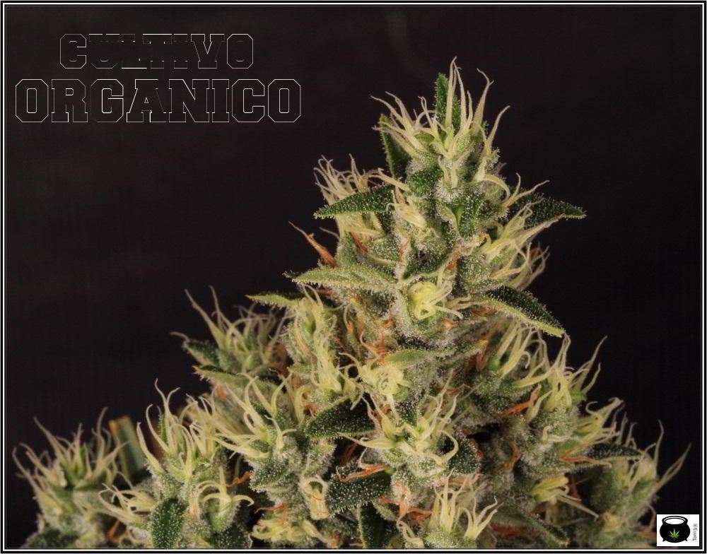 15- Variedad de marihuana Jack Herer con luz natural 4