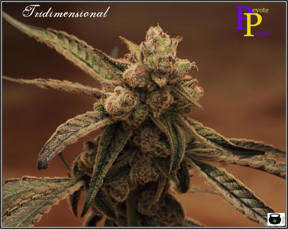 Especial macrofotografia variedad de marihuana Peyote Purple 3