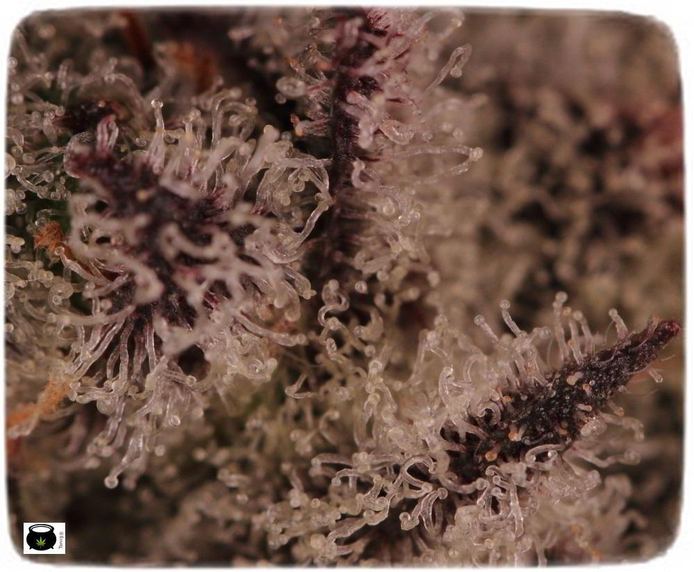 Especial macrofotografia variedad de marihuana Peyote Purple 10