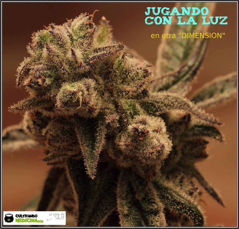 Especial macrofotografia variedad de marihuana Peyote Purple 4