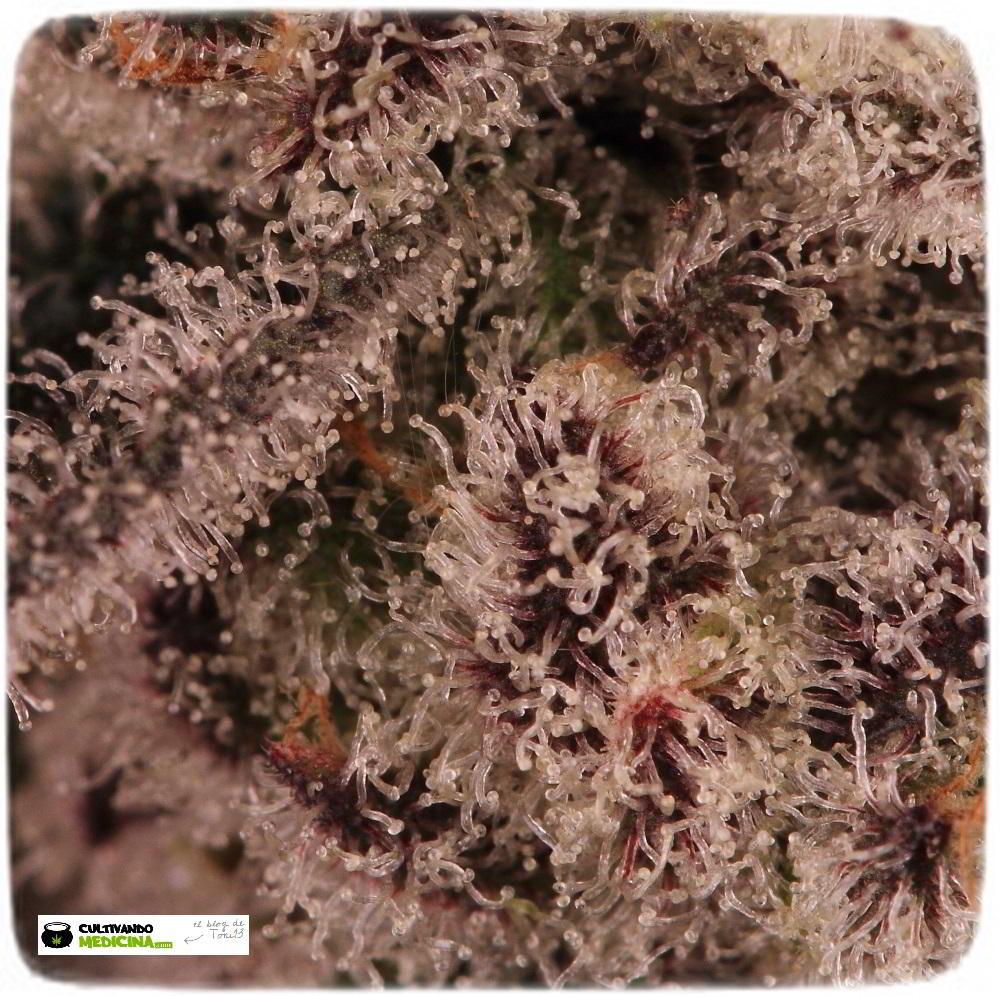 Especial macrofotografia variedad de marihuana Peyote Purple 6