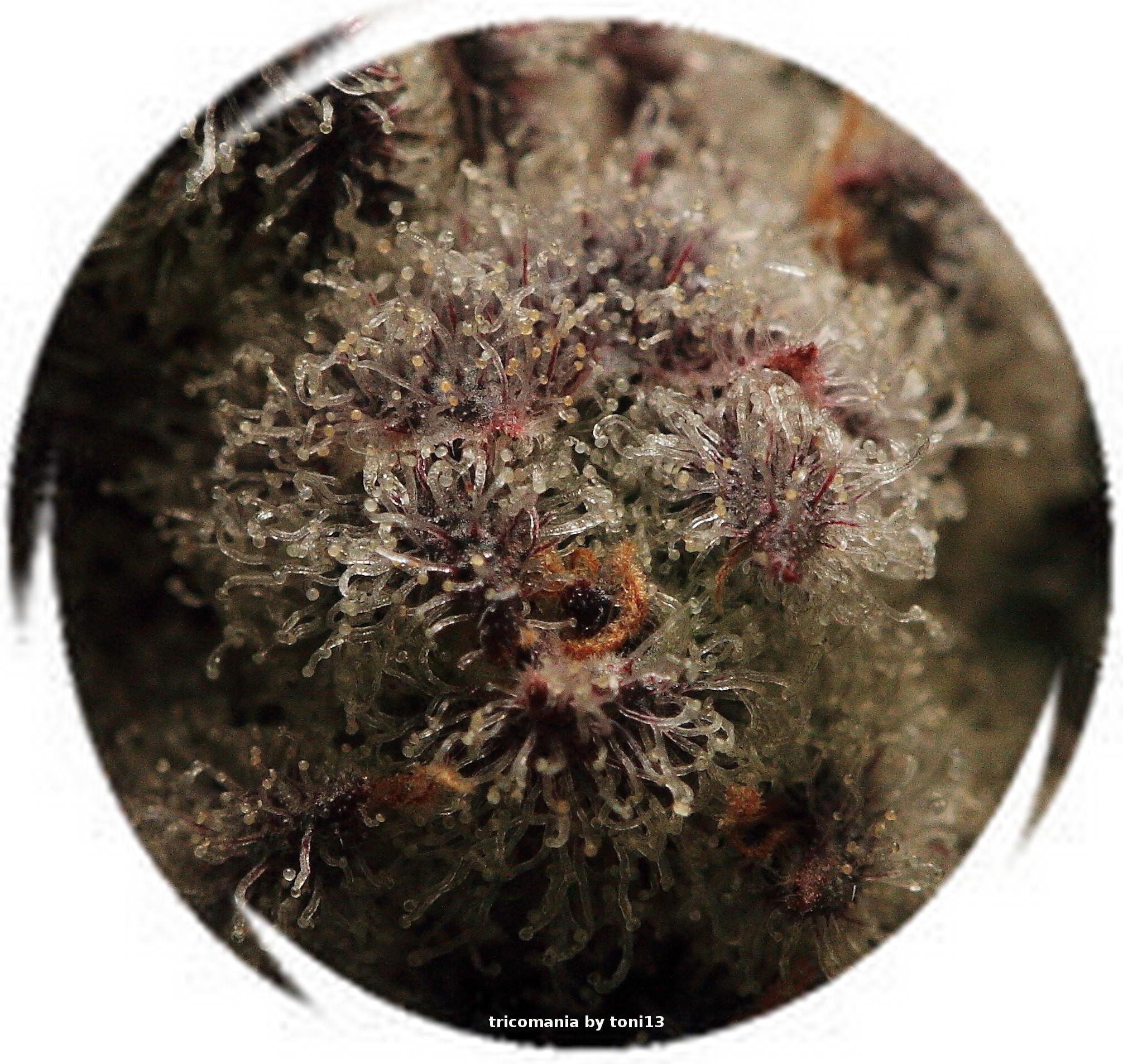 Especial macrofotografia variedad de marihuana Peyote Purple 7