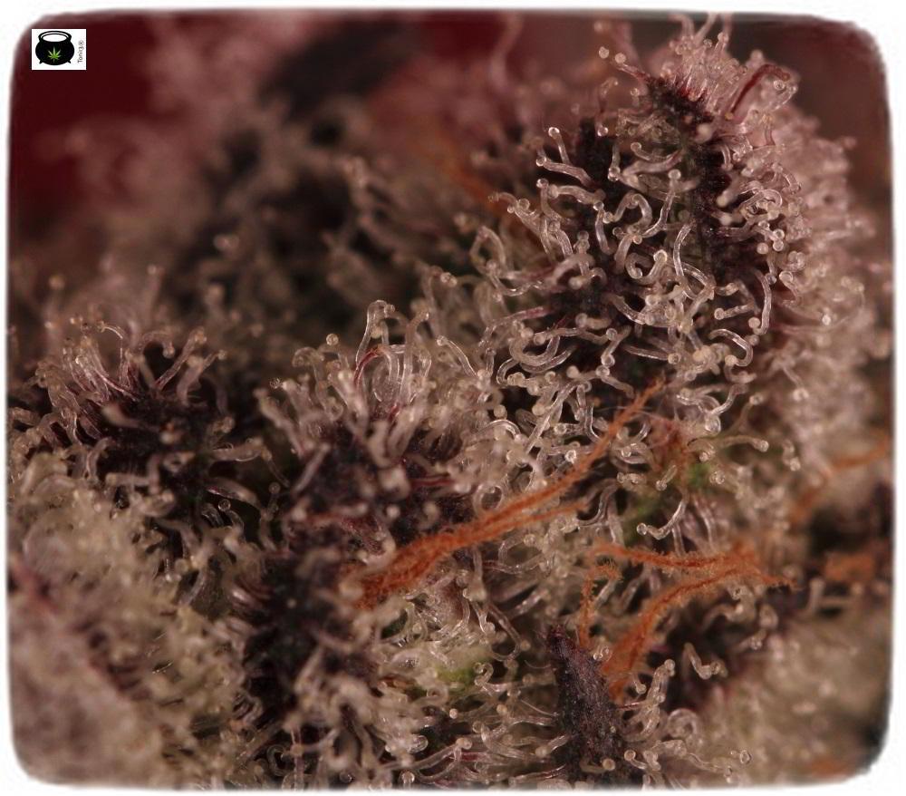 Especial macrofotografia variedad de marihuana Peyote Purple 8