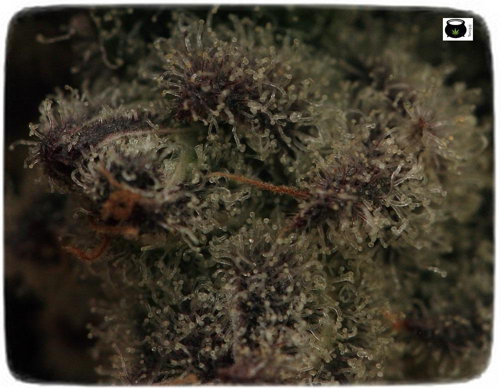Especial macrofotografia variedad de marihuana Peyote Purple 9