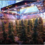 16- Actualización del cultivo de marihuana: 9 semanas a 12/12