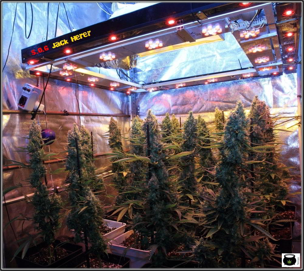 16- Actualización del cultivo de marihuana: 9 semanas a 12/12 SOG vertical