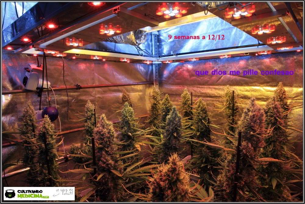 16- Actualización del cultivo de marihuana: 9 semanas a 12/12 SOG 2