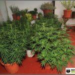 Olor en cultivos de marihuana interior y exterior y cómo eliminarlo