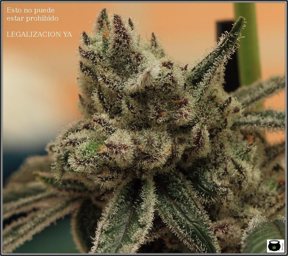 Especial macrofotografia variedad de marihuana Peyote Purple 2