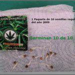 1- En busca del tesoro, cultivo de marihuana de interior con semillas regulares