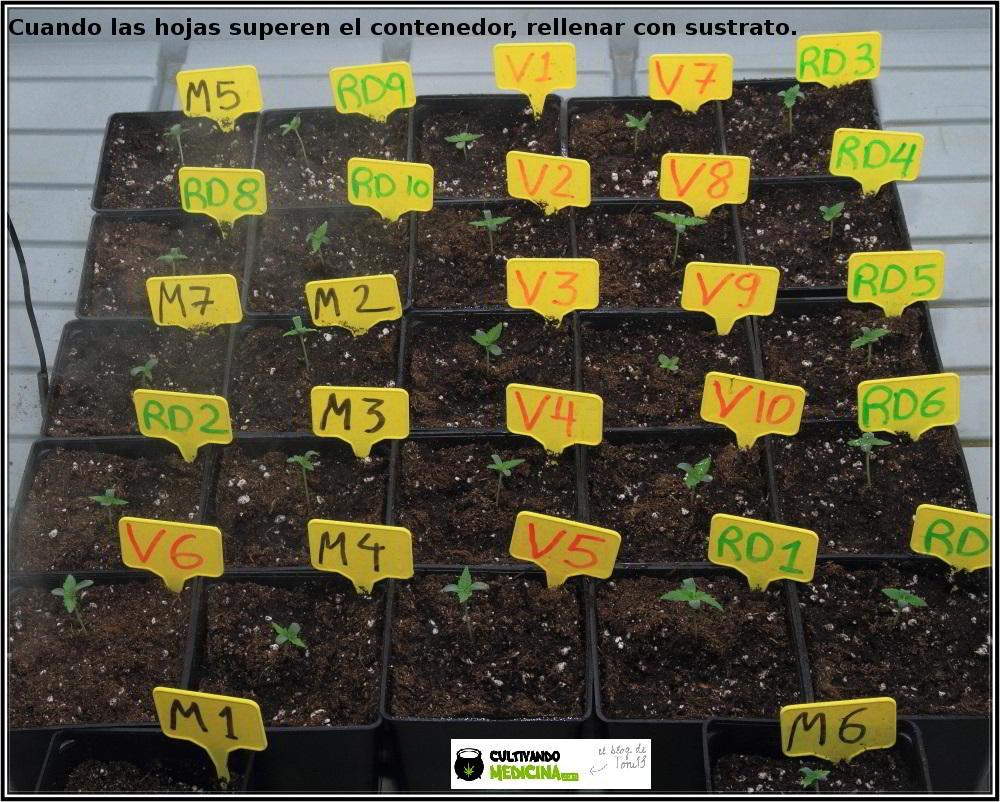 1- En busca del tesoro, cultivo de marihuana de interior con semillas regulares 11