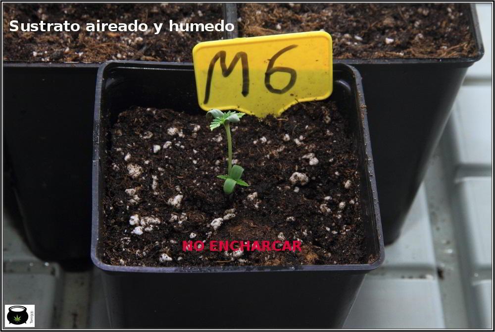 1- En busca del tesoro, cultivo de marihuana de interior con semillas regulares 6