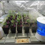 12- Los esquejes de marihuana pasan a la sala de alto rendimiento