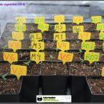 2- 7 días de crecimiento vegetativo: 2º par de hojas reales.