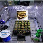 3- 10 días de crecimiento vegetativo en el cultivo con semillas regulares