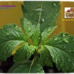 4- 11 días de crecimiento vegetativo: 3º par de hojas reales