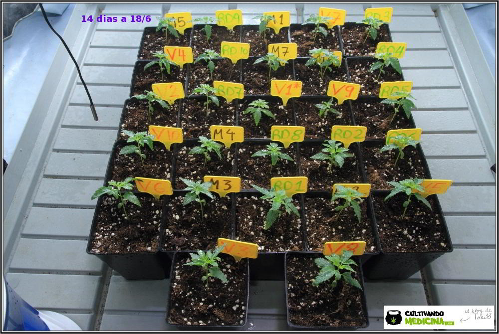 5- 14 días de crecimiento vegetativo en el cultivo con semillas regulares
