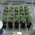 7- 22 días de crecimiento vegetativo en el cultivo: 6º entrenudo