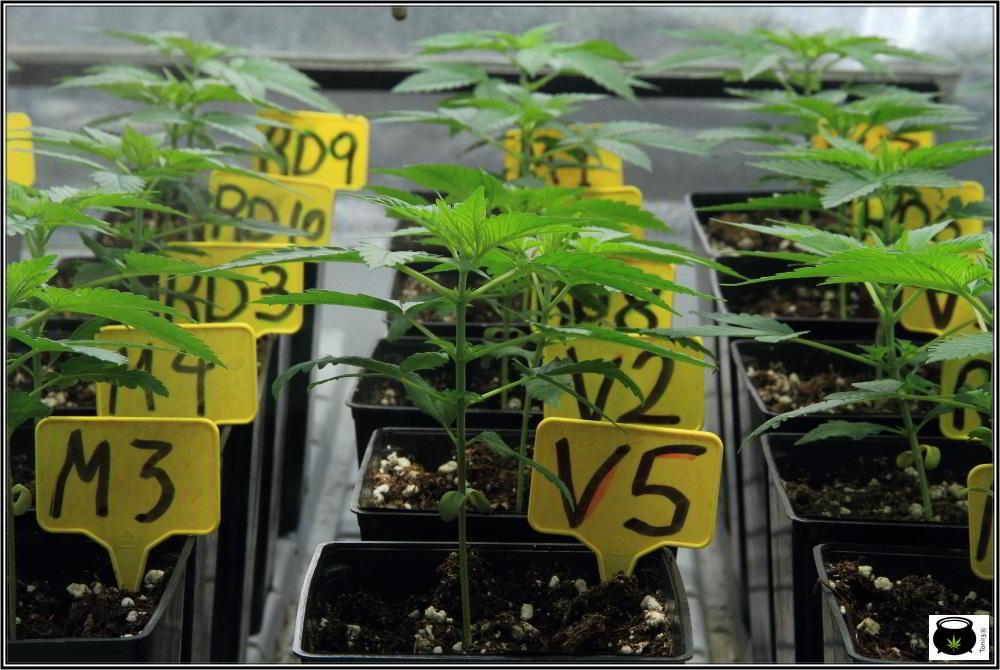 7- 22 días de crecimiento vegetativo en el cultivo de marihuana: 6º entrenudo 2