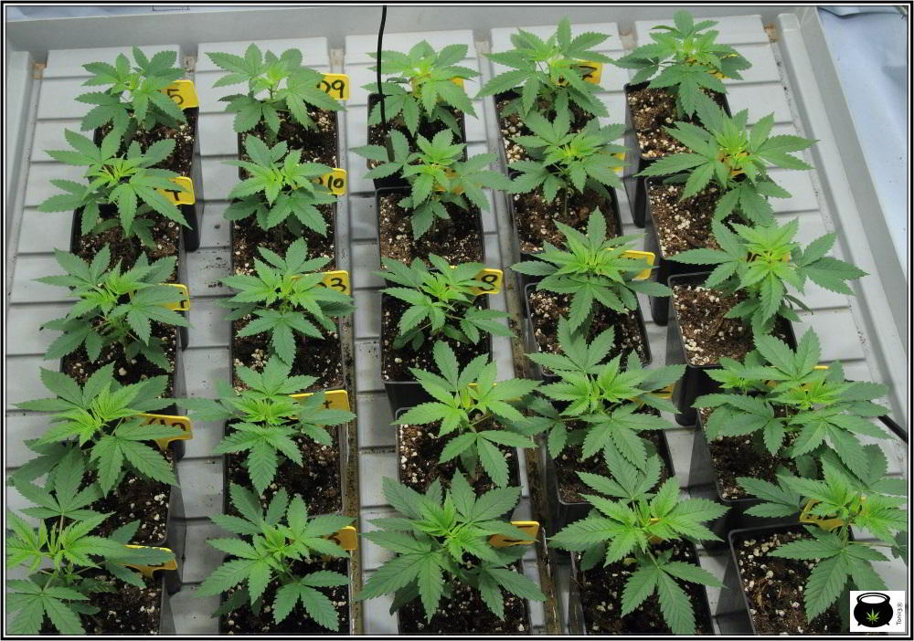7- 22 días de crecimiento vegetativo en el cultivo de marihuana: 6º entrenudo 3