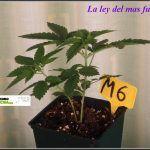 8- 23 días de crecimiento vegetativo en el cultivo: la ley del mas fuerte